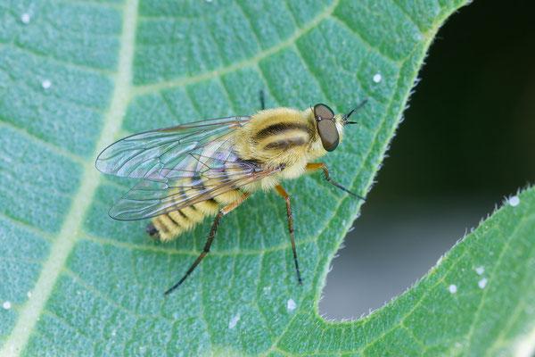 Therevidae Thereva species ♂ - Kroatien, Cres, Martinscica 5/2017 (Fam. Stilettfliegen, Art?)