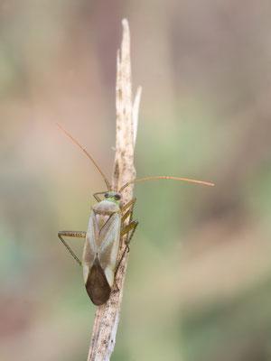 Adelphocoris lineolatus - Mainz, Düne 8/2015