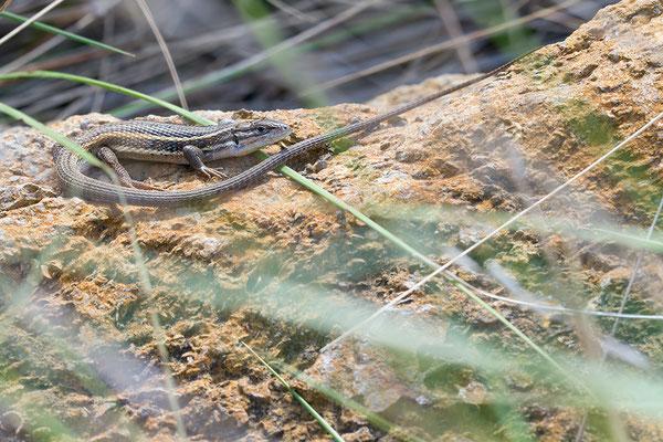 Psammodromus algirus - Narbonne-Plage 5/2016 (Algerischer Sandläufer)