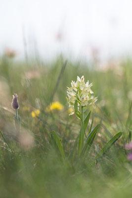 Dactylorhiza sambucina - Neu-Bamberg, Haarberg 4/2018 (Holunder-Knabenkraut)