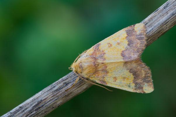 Tiliacea aurago - Zornheim, Garten 10/2017 (Rotbuchen-Gelbeule)