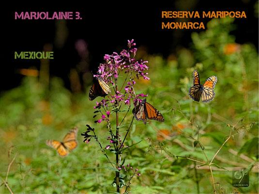 papillon monarque méxique