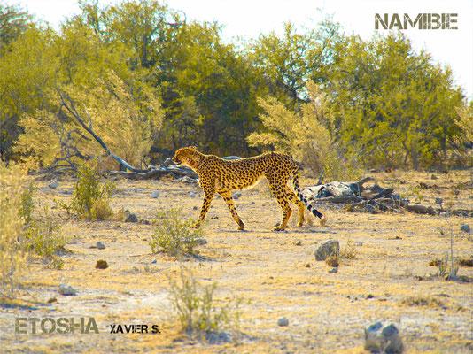gruépard namibie