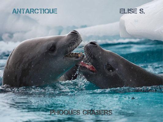 phoques crabiers antarctique
