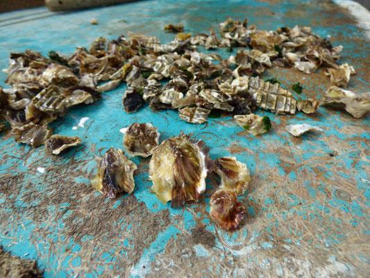 L'hiver, la collecte des petites huîtres, dans 3 ans dans votre assiette si tout va bien...
