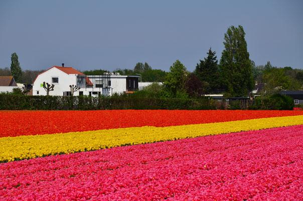 Unser B&B befindet sich mitten in den Blumenfeldern
