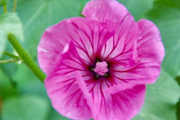 14 Malvenblüte