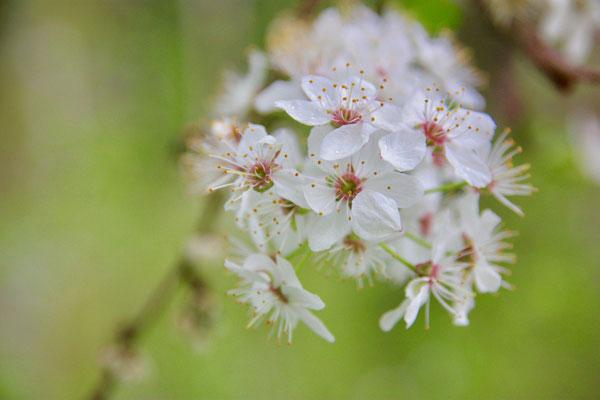 36 Gewöhnliche Traubenkirschenblüte