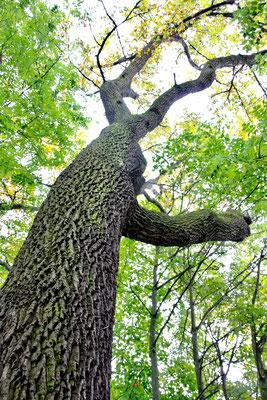 42 Walnussbaum