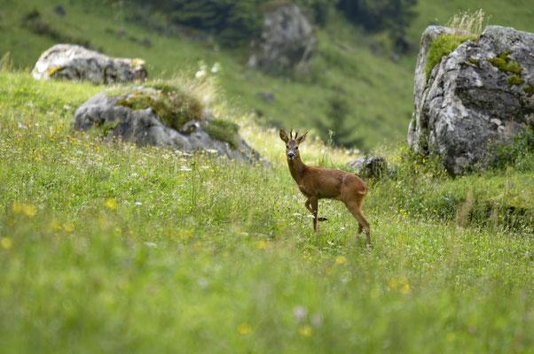 Rehbock (Capreolus capreolus), Berner Oberland