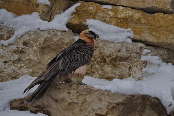 Bartgeier (Gypaetus barbatus), Tierpark La Garenne, Le Vaud