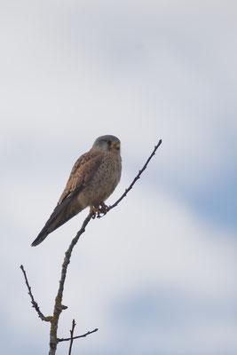 Turmfalke (Falco tinnunculus), Männchen