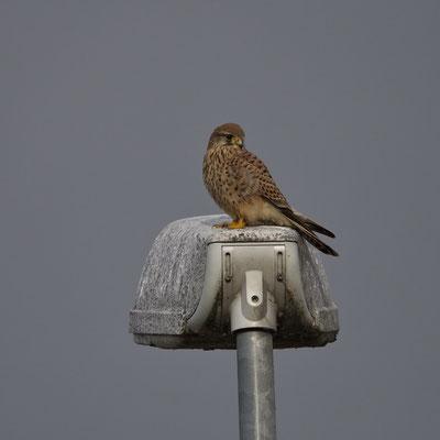 Turmfalke (Falco tinnunculus), Weibchen
