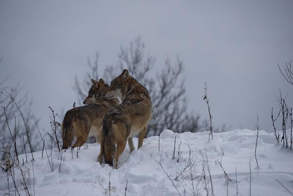 Wölfe (Canis lupus), Tierpark La Garenne, Le Vaud