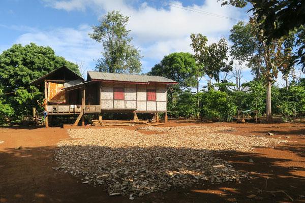 Comme le café, le manioc sèche au soleil