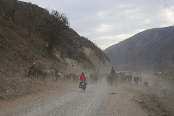 mais on est vite ralentis par les troupeaux qui redescendent dans la vallée!