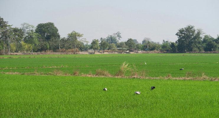 Les petites cygognes au milieu des champs de riz