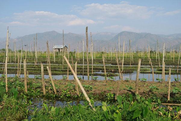 Jardin flottant sur le lac Inle