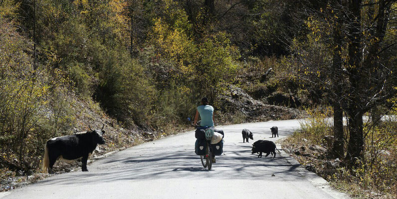 Après les yaks, les cochons (ça fait presque le même bruit :)