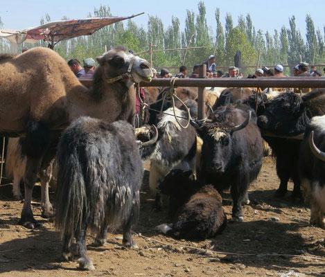 Au rayon des chameaux et des yaks