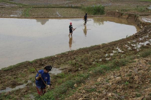Préparation des rizières pour la prochaine recolte