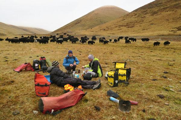 Au pied de notre premier col Tibetain, les yaks nous rendent visite pour le petit dej'