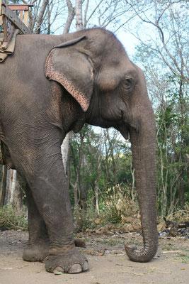 Éléphant de Tad lo