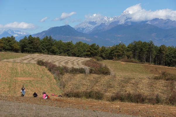 Dans les champs, on récolte les pommes de terre...