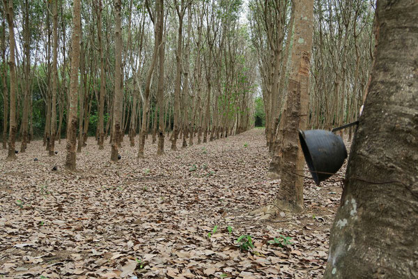 Plantation d'Heveas après la récolte. La sève coule directement dans les petits bols (quand ils sont à l'endroit... ).