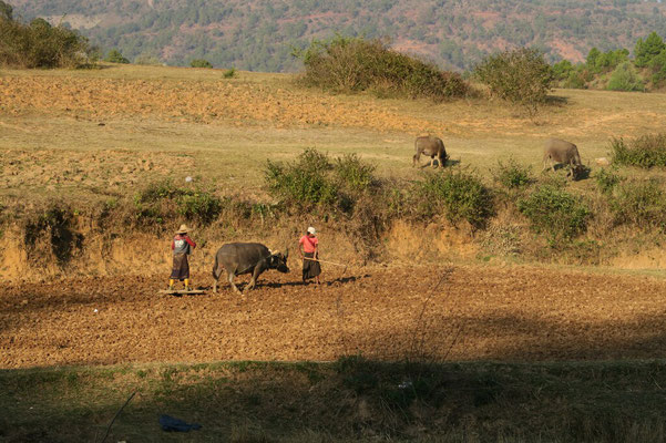 Travaux dans les champs à l'aide des buffles : pas grand chose n'est mécanisé...