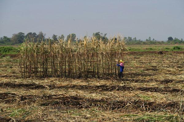 Récolte de la canne à sucre a la machette
