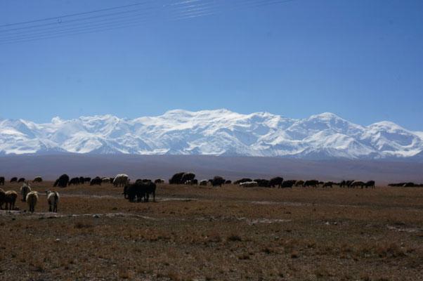 Il reste encore quelques troupeaux qui admirent les montagnes