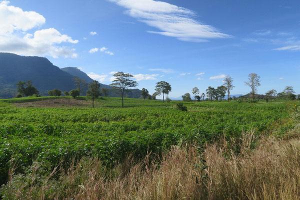 Plantation de manioc sur le plateau
