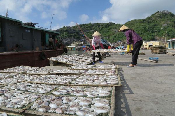 Les poulpes fraîchement pêchés sèchent au soleil
