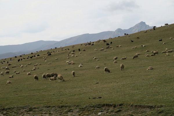 Troupeaux de moutons aux abords du lac Son kol