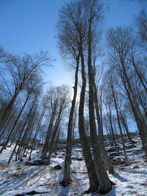 """La forêt de """"Gargamel"""" Germ sur l´Oussouët"""
