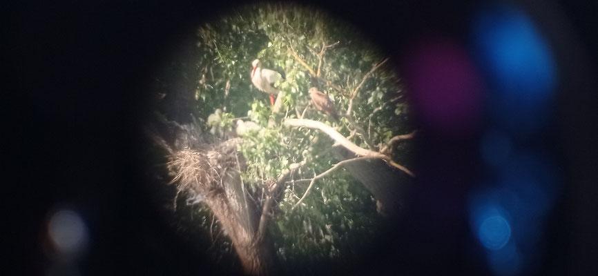 Blick durch das Spektiv - Storch mit Schwarzmilan