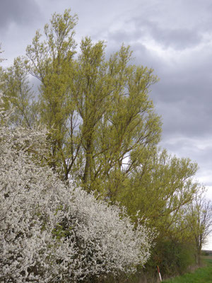 blühende Büsche und Weiden, Kollenbruch