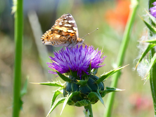 Schmetterling auf einer Marien-Distel       (Foto: Martina Polensky)