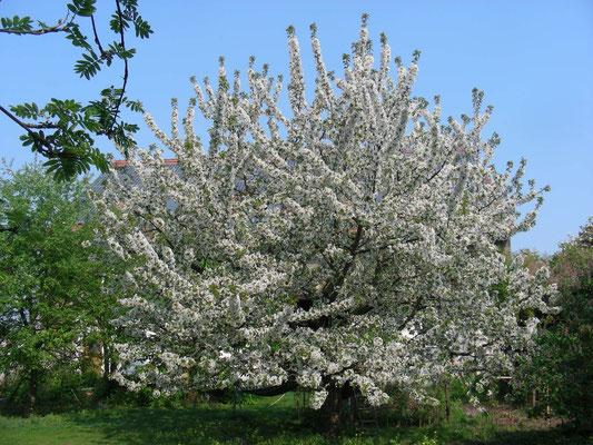 blühender Kirschbaum, Garten Dornheim