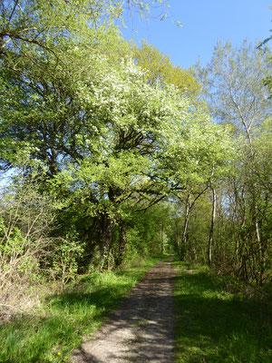 Fahrradweg parallel zum Landgraben mit blühender Linde