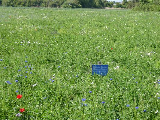 Blühfläche von Landwirt Sebastian Krumb - gleich nebenan