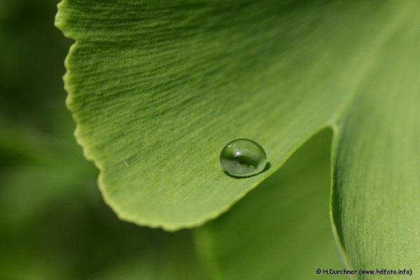Wassertropfen auf Ginkoblatt