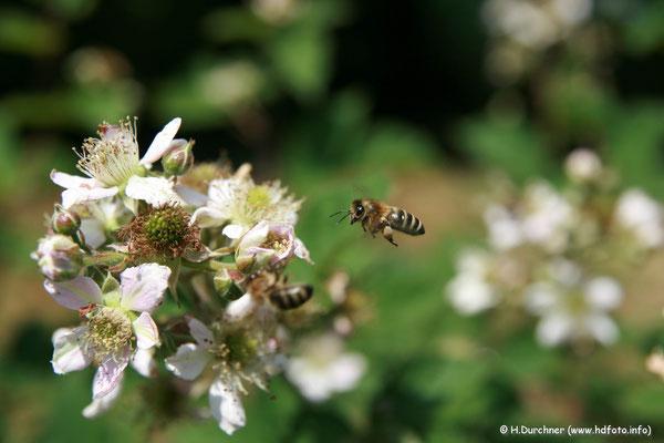 Biene im Anflug auf Brombeerblüte