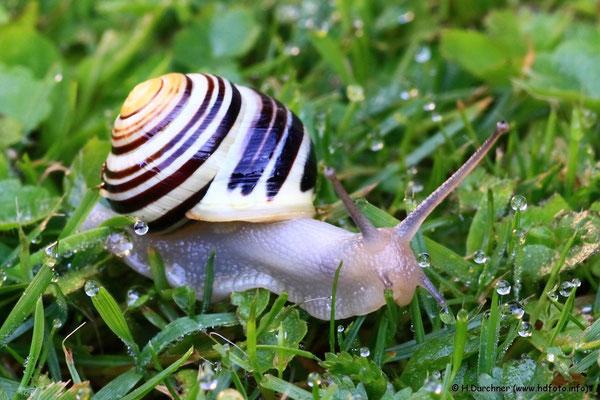 """Eine Schnecke beim """"Morgensport"""" auf dem taunassen Gras"""