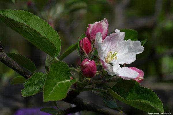 Kirchschblüte