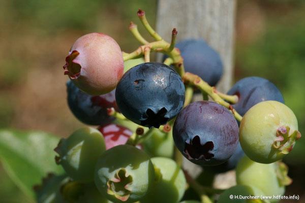 Heidelbeeren (Vaccinium corymbosum)