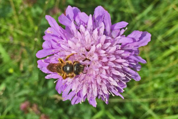 Wildbiene beim Nektar sammeln