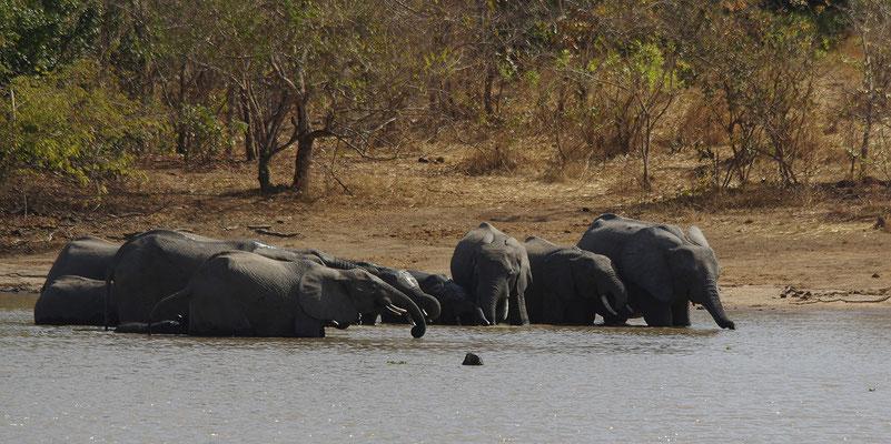 La guinguette est ouverte 2. Eléphants d'Afrique