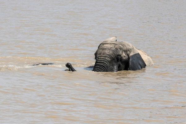 Que du bonheur. Eléphant d'Afrique